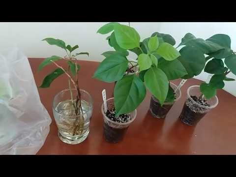 Как укоренить бугенвиллию в домашних условиях в воде, в грунте, весной или осенью