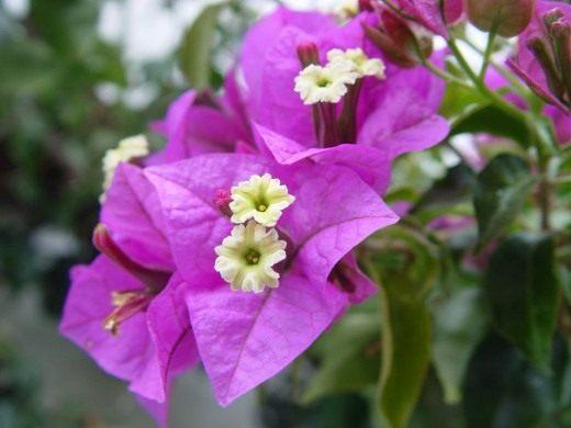 Бугенвиллия голая - фото, посадка и уход, описание сорта, болезни