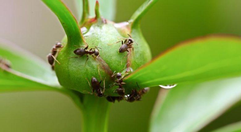 Пион Гардения - описание сорта, посадка, уход, размножение, фото