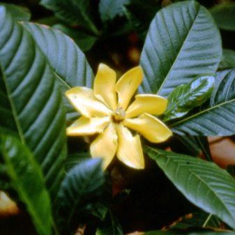Гардения - сорта и виды, фото с описанием
