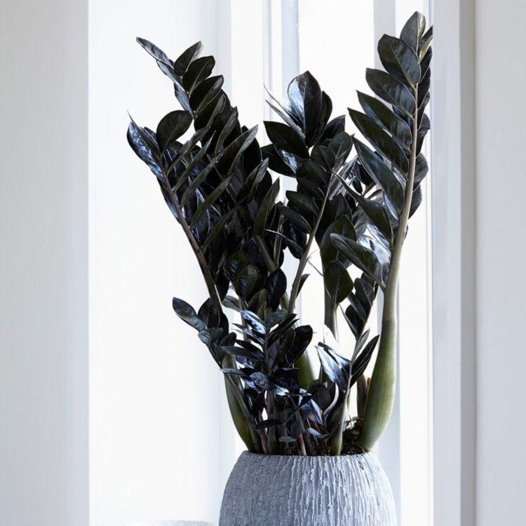 Черный замиокулькас: уход в домашних условиях, описание сорта, фото, размножение,