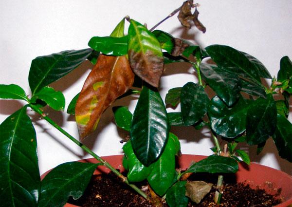 Почему у гардении желтеют, чернеют и опадают листья