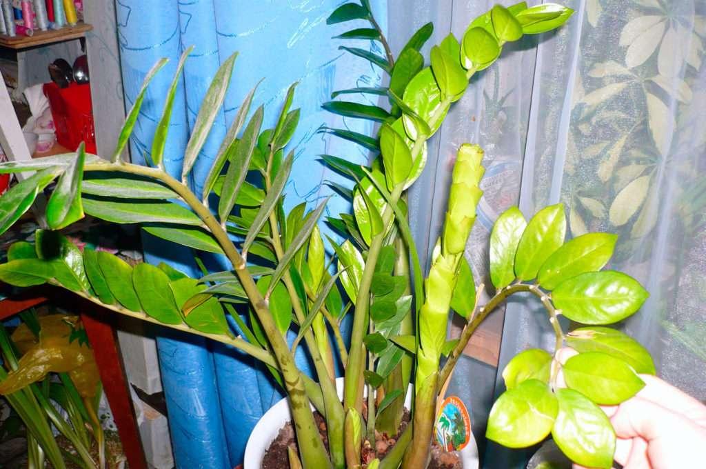 Замиокулькас: желтеют листья, причины, что делать