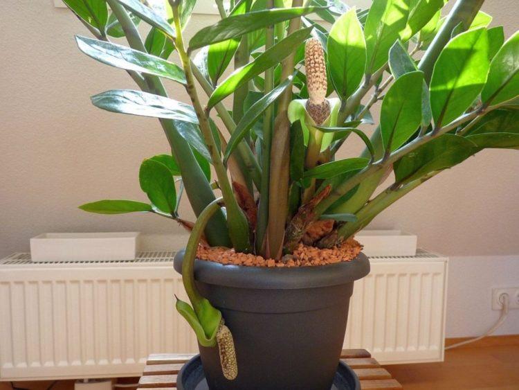 Замиокулькас (Долларовое дерево)- уход в домашних условиях, пересадка