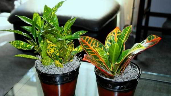 Кротон: размножение в домашних условиях листом, черенками, отводками, семенами