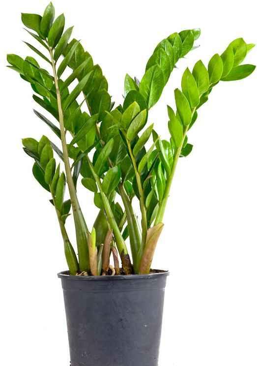 Замиокулькас: все виды и сорта цветка с фото и описанием
