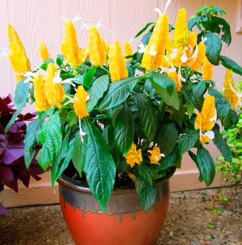 Пахистахис желтый: уход и посадка в домашних условиях, болезни и вредители, размножение