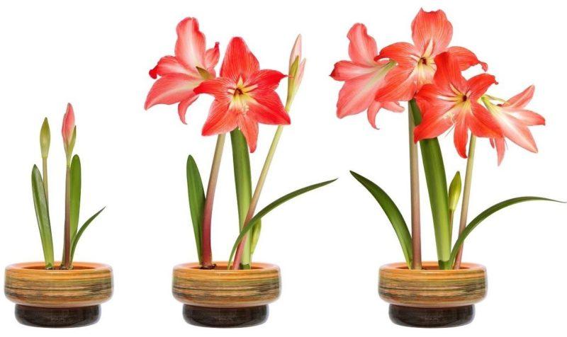 Амариллис - уход в домашних условиях, после цветения, период покоя, размножение