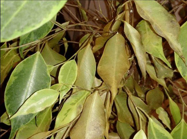 Фикус бенджамина сбрасывает листья: причина и что делать в домашних условиях