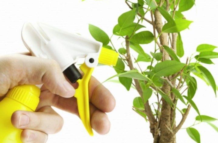 Фикус Мокламе: уход в домашних условиях, посадка, размножение, болезни и проблемы при выращивании