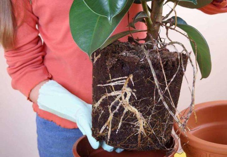 Фикус Робуста: уход в домашних условиях, посадка и размножение, болезни, приметы