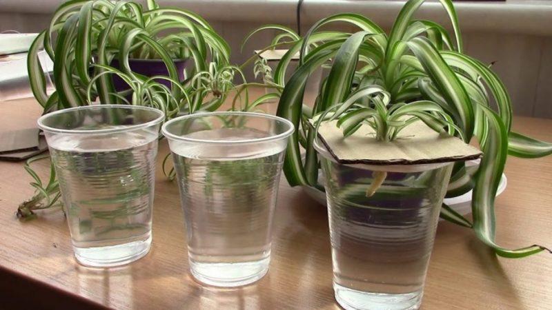 Хлорофитум: уход в домашних условиях, посадка и размножение, болезни, фото сортов