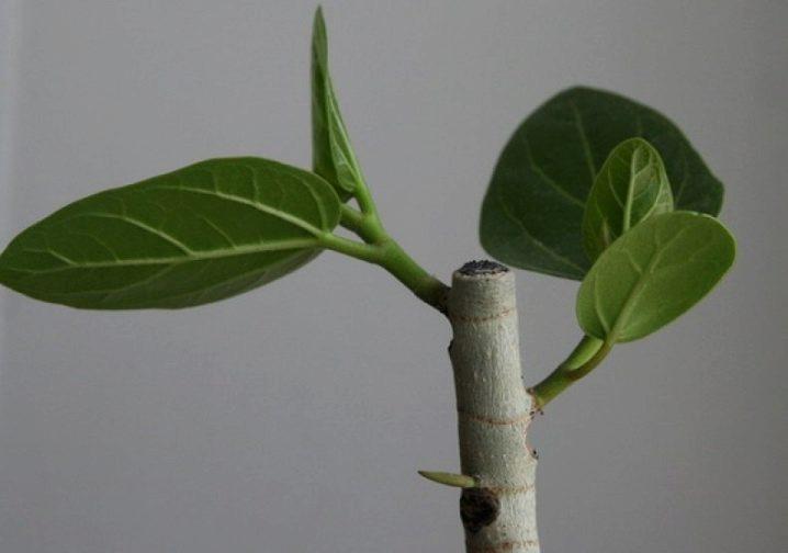 Как обрезать фикус в домашних условиях, чтобы ветвился, пышно рос, формирование кроны