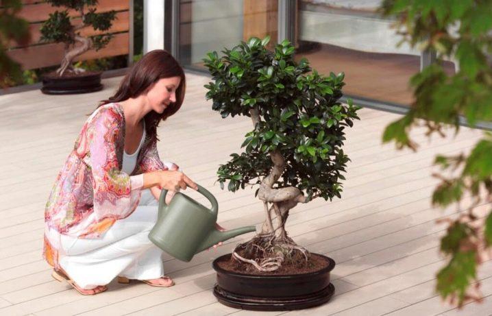 Как поливать фикус правильно, полив зимой, весной, в горшке, в домашних условиях