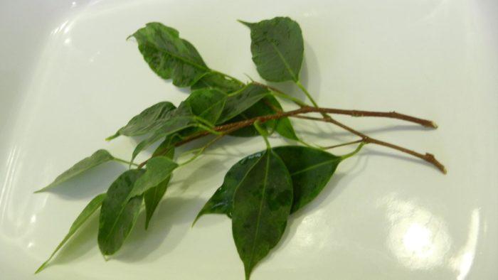 Как размножить фикус в домашних условиях черенками, отводками, листом, семенами - пошагово