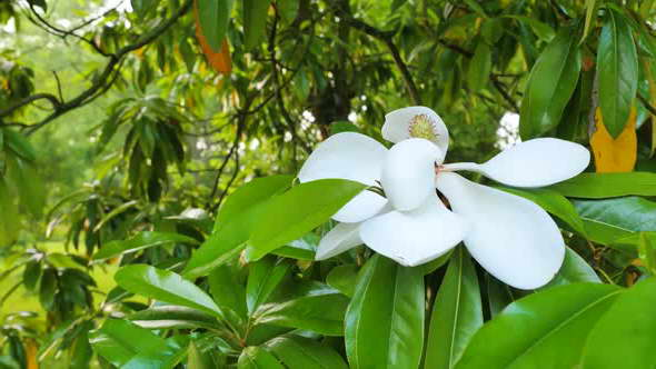 Как цветет фикус: фото, когда цветет, условия для цветения в домашних условиях