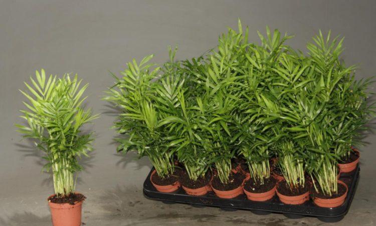Хамедорея Элеганс (Изящная) - уход, посадка в домашних условиях, пересадка и размножение пальмы