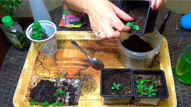 Эустома - выращивание из семян в домашних условиях, как и когда сеять, хитрости цветоводов