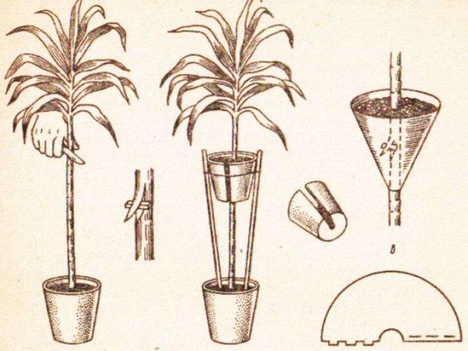 Юкка: размножение в домашних условиях отростком, семенами, побегами, верхушкой