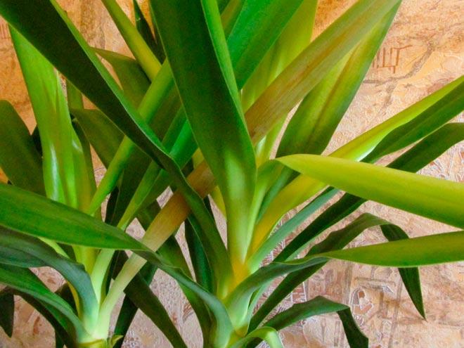 Почему желтеют листья у юкки - причины, что делать, как реанимировать юкку