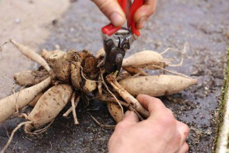 Бордюрные георгины - посадка и уход, сорта и названия, 25 фото, размножение