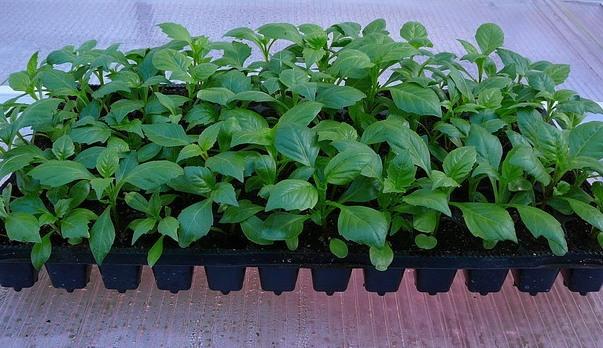 Георгина Фигаро - выращивание из семян, посадка в грунт, уход, фото сортов с описанием