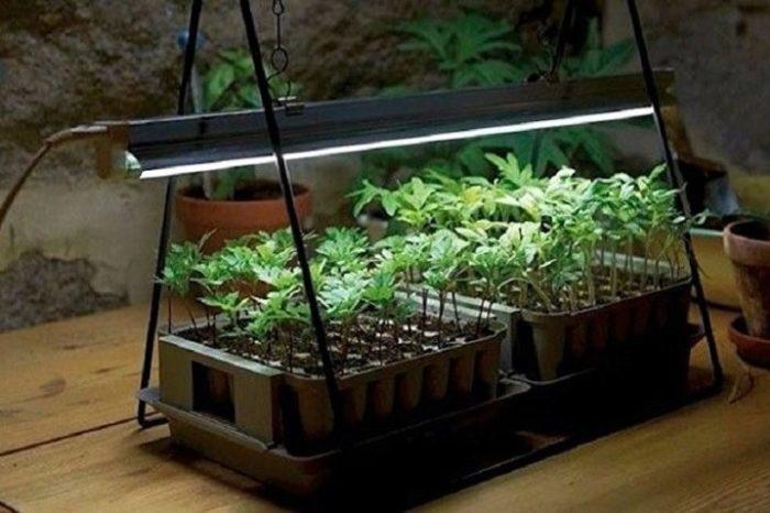 Георгины из семян - выращивание и уход пошагово, как собрать семена и посадить