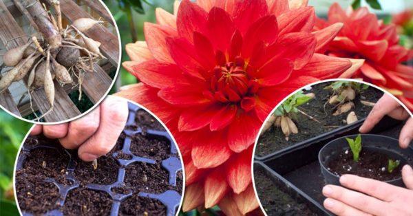 Георгины многолетние - посадка, уход и размножение, фото сортов с описанием, когда выкапывать клубни