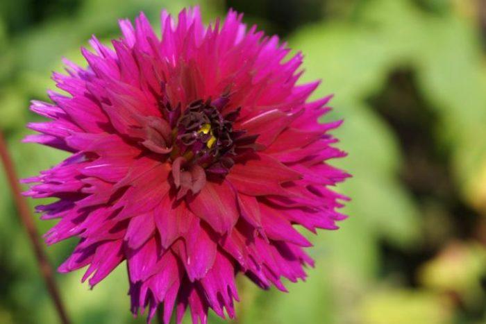 Георгины - сорта и названия, 35 фото цветов
