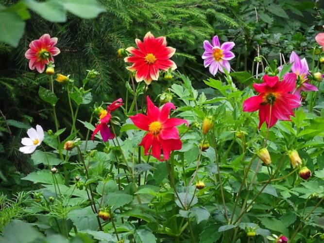 """Георгины """"Веселые ребята"""" - посадка и уход, выращивание из клубней, когда сажать семена"""
