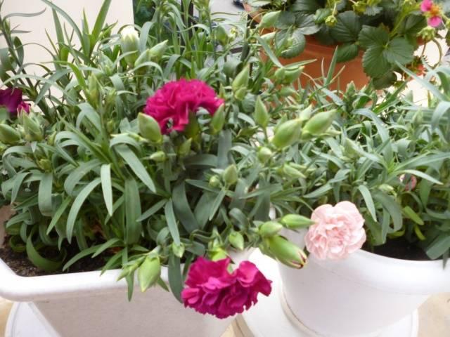 Гвоздика Лилипот - выращивание из семян, уход, посадка, зимовка