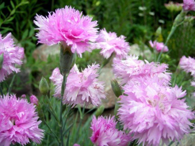 Гвоздика садовая - посадка и уход, описание сорта, фото, размножение