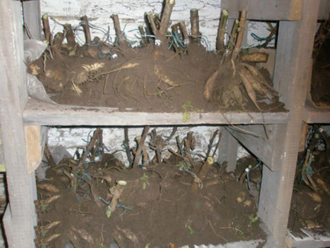 Как хранить георгины зимой - в квартире, погребе, подвале, в холодильнике