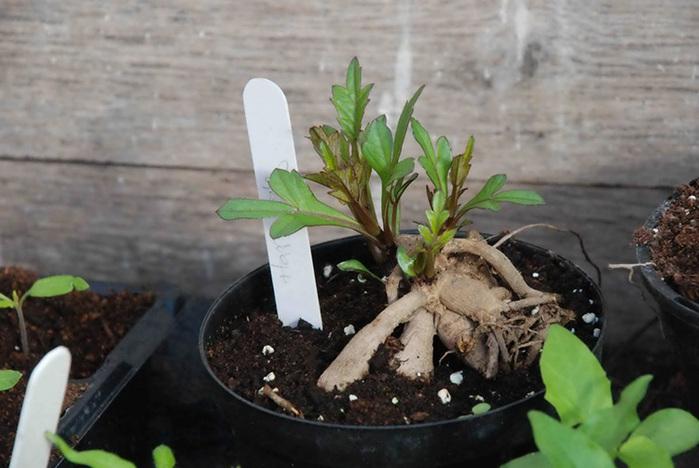 Когда доставать георгины для проращивания - сроки, подготовка, способы проращивания