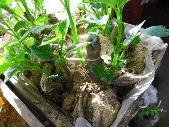 Когда сажать георгины клубнями - весной в открытый грунт