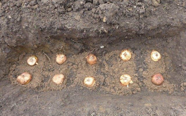 Когда сажать гладиолусы в открытый грунт, весной, в горшок, на рассаду, чтобы зацвели к 1 сентября
