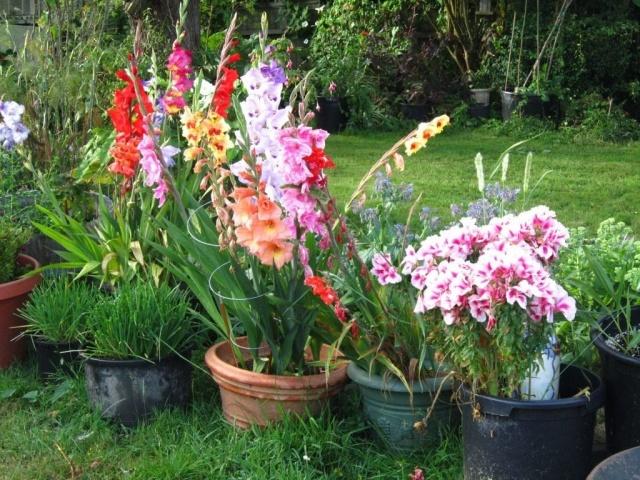 Гладиолусы в горшках - посадка, уход, сорта, как выращивать дома, на даче