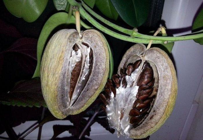 Мадагаскарский жасмин или Стефанотис - посадка, уход, размножение в домашних условиях