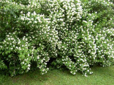Садовый жасмин (Чубушник) - посадка и уход, описание и фото, размножение